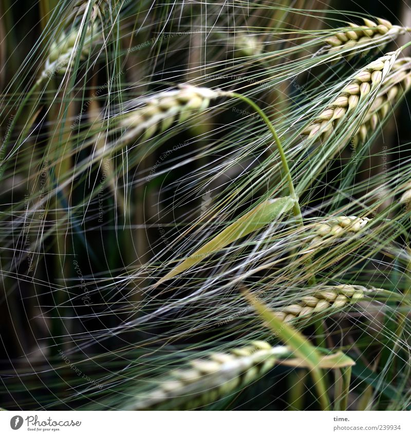 Basics of Life Barley Grain Food Plant Agriculture Green Summer Ear of corn Growth Nature Grain field Copy Space left Deserted Grass