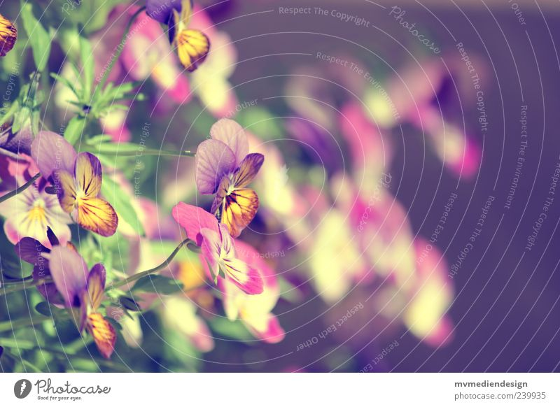 pansies Spring Summer Plant Leaf Blossom Warm-heartedness Sympathy Hope Longing Pansy blosssom Dye Colour photo Exterior shot Blur Flower Deserted Delicate Pink