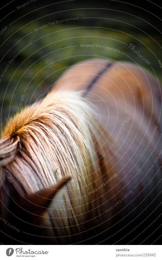 mane Animal Horse 1 Stand Natural Brown Yellow Gold Love of animals Esthetic Movement Elegant Vacation & Travel Idyll Nature Iceland Iceland Pony Mane Back