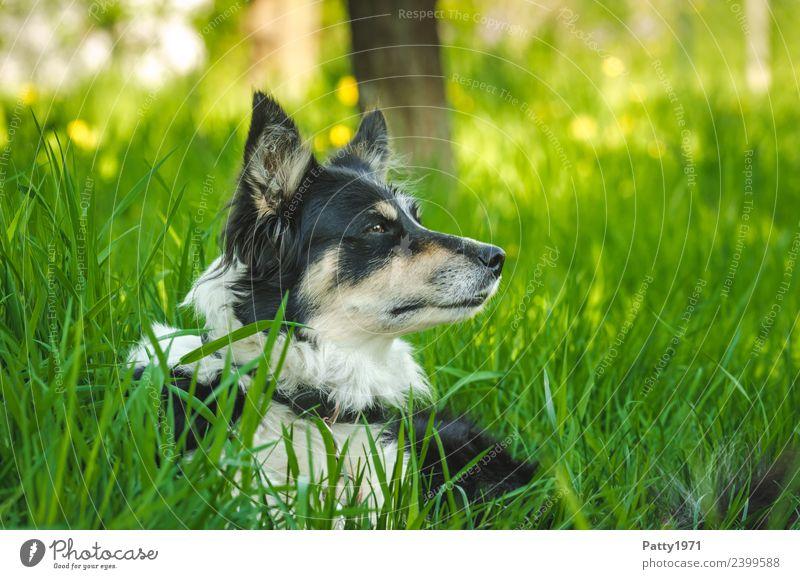 border collie Nature Landscape Grass Meadow Animal Pet Farm animal Dog Herding dog Collie Shepherd dog 1 Observe Lie Safety Protection Attentive Watchfulness