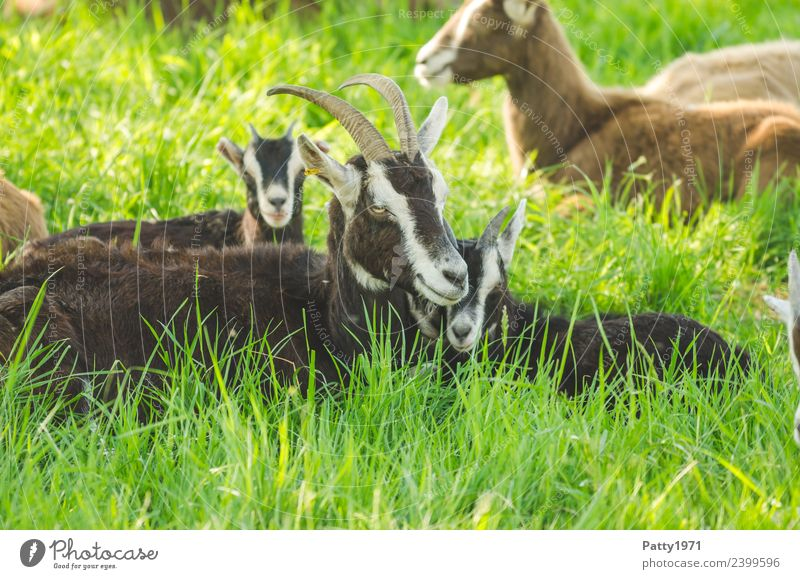 Nature Landscape Relaxation Animal Meadow Lie Idyll To enjoy Group of animals Sleep Attachment Pasture Pet Farm animal Goats Animal family
