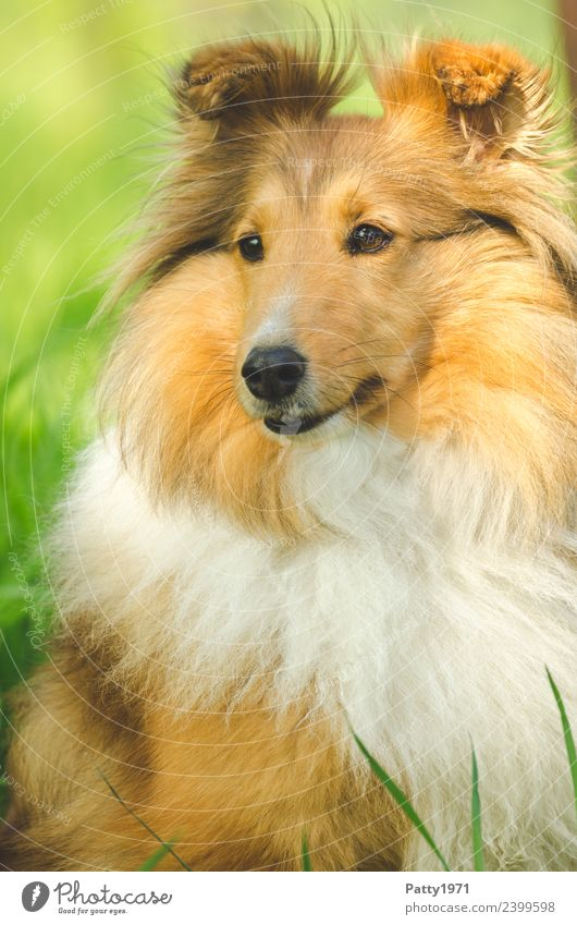 Shetland Sheepdog Nature Landscape Grass Meadow Animal Pet Farm animal Dog sheltie Collie 1 Observe Sit Cuddly Brown Yellow Orange Protection Colour photo