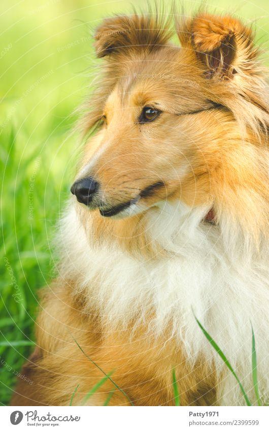 Nature Dog Landscape Animal Meadow Grass Sit Observe Protection Pet Farm animal Collie Shepherd dog Herding dog