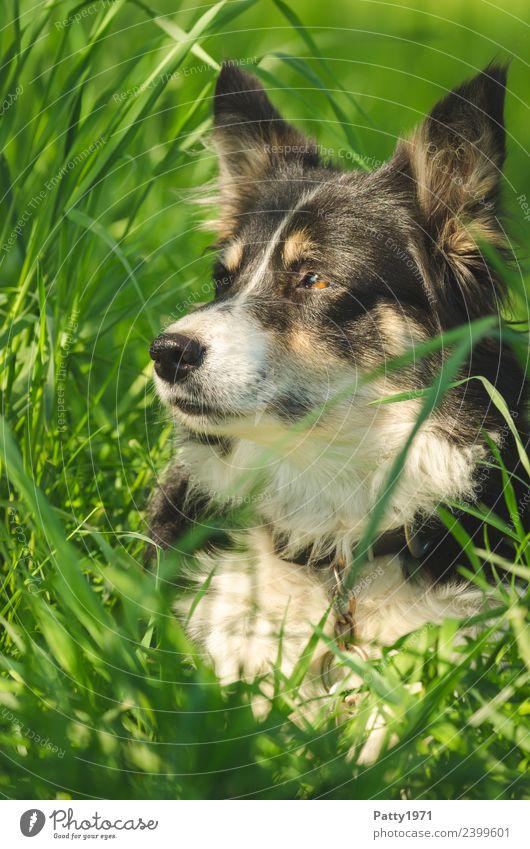 border collie Nature Landscape Grass Meadow Animal Pet Farm animal Dog Shepherd dog Herding dog Collie 1 Observe Lie Safety Protection Attentive Watchfulness
