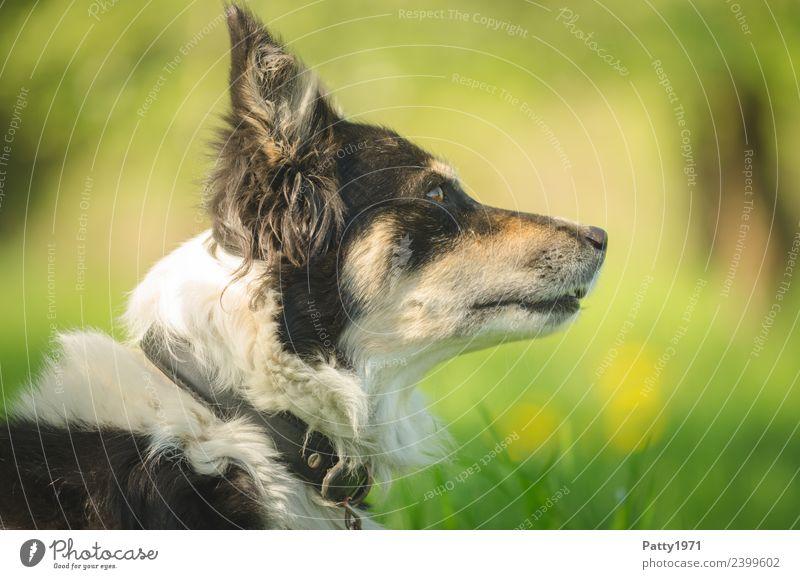 border collie Nature Landscape Grass Meadow Animal Pet Farm animal Dog Collie Herding dog Shepherd dog 1 Observe Safety Protection Attentive Watchfulness