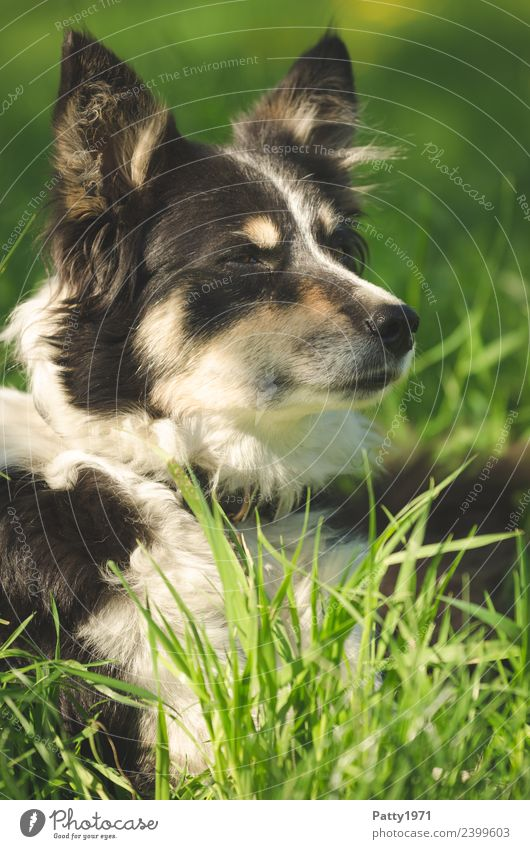 Nature Dog Landscape Animal Meadow Grass Lie Observe Protection Safety Pet Watchfulness Teamwork Attentive Farm animal Collie