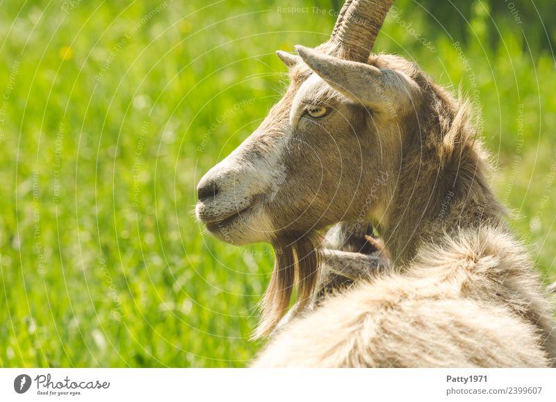 Animal Lie Idyll Pet Farm animal Goats