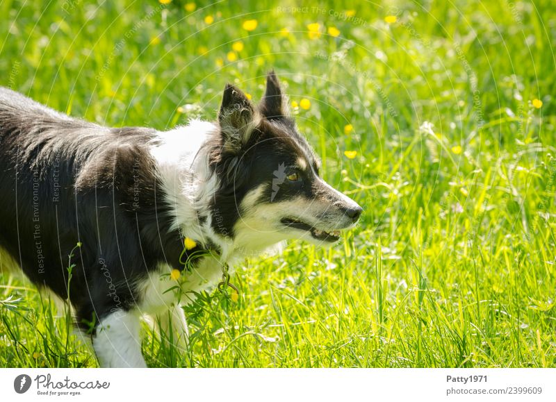 border collie Environment Nature Grass Meadow Animal Pet Farm animal Dog Herding dog Shepherd dog Collie 1 Observe Safety Protection Attentive Watchfulness