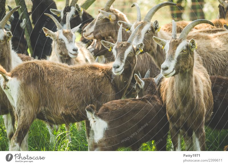 Animal Idyll Stand Group of animals Observe Attachment Pet Herd Farm animal Goats Goat herd