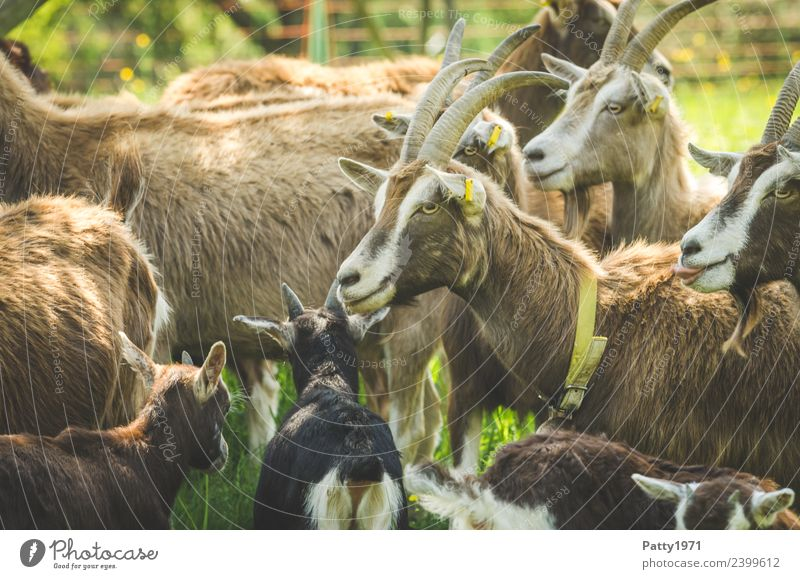 Animal Stand Group of animals Attachment Pet Herd Farm animal Goats Goat herd