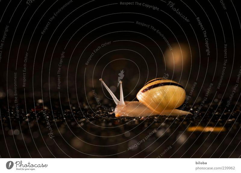 nightwalker Wild animal Snail 1 Animal Brown Yellow Black Uniqueness Illuminate Feeler Snail shell Asphalt Night Colour photo Exterior shot Deserted