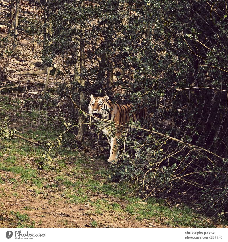 Kittens in the forest Nature Animal Wild animal Zoo 1 Aggression Exotic Tiger Threat Colour photo Exterior shot Day Tree Bushes Deserted Looking Stand