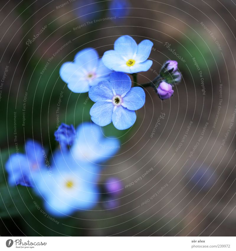 blue flowers II Environment Nature Plant Spring Flower Blossom Forget-me-not Blossom leave Blossoming Fragrance Beautiful Natural Blue Brown Spring fever
