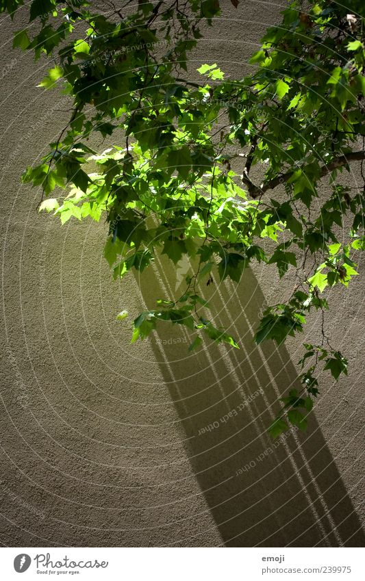 Green Tree Plant Leaf Wall (building) Spring Wall (barrier) Facade Shadow play