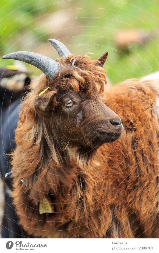 billy goat with mullet.... Animal Pet Farm animal Animal face Pelt Goats He-goat 1 Feeding Brown Green Goatherd Goatskin Goat`s cheese goat's beard Bell