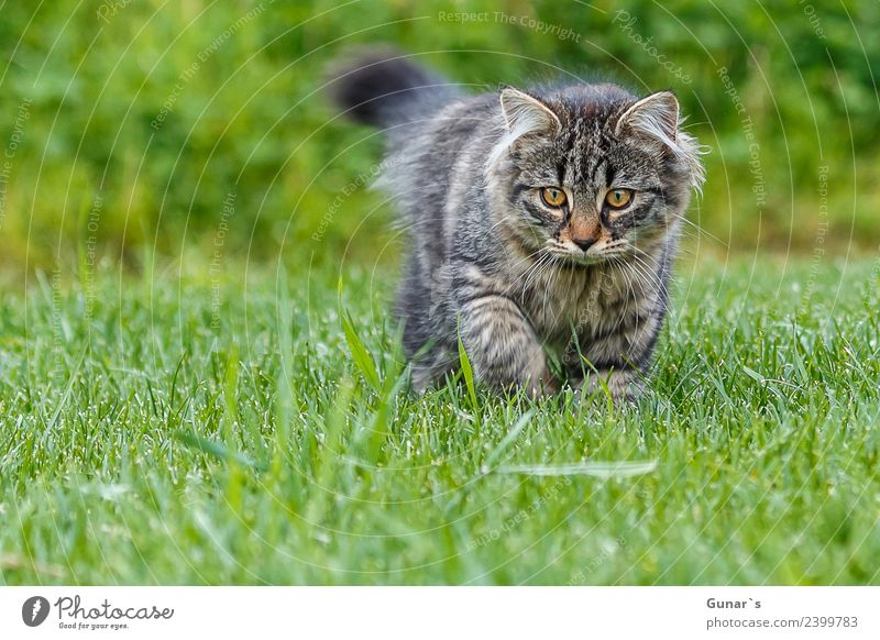 Young cat playing in the grass... Grass Meadow Animal Pet Cat Animal face Pelt Claw Paw young cat Kitten Tiger Tabby cat Tiger skin pattern 1 Discover Hunting