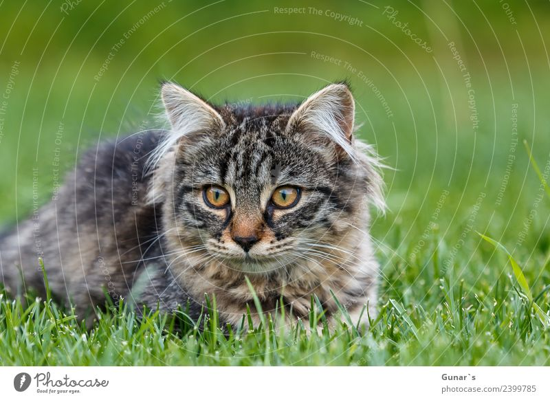 Young cat playing in the grass... Meadow Animal Pet Cat Animal face Pelt Claw Paw Kitten young cat Tiger Tabby cat Tiger skin pattern 1 Green Playing Curiosity