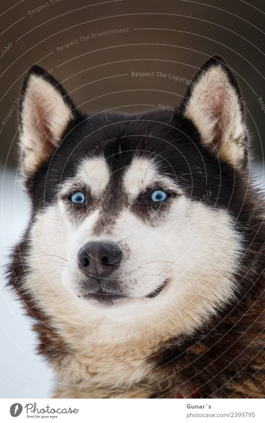 Husky with blue eyes.... Animal Pet Farm animal Dog Animal face Pelt Paw Sled dog Sled dog race 1 Fitness Adventure Vacation & Travel Eyes Wolf wolf face