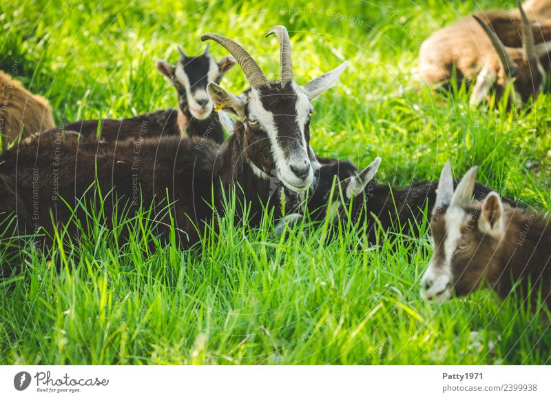 Nature Landscape Relaxation Animal Meadow Lie Idyll Sleep Attachment Pasture Pet Herd Farm animal Goats Animal family