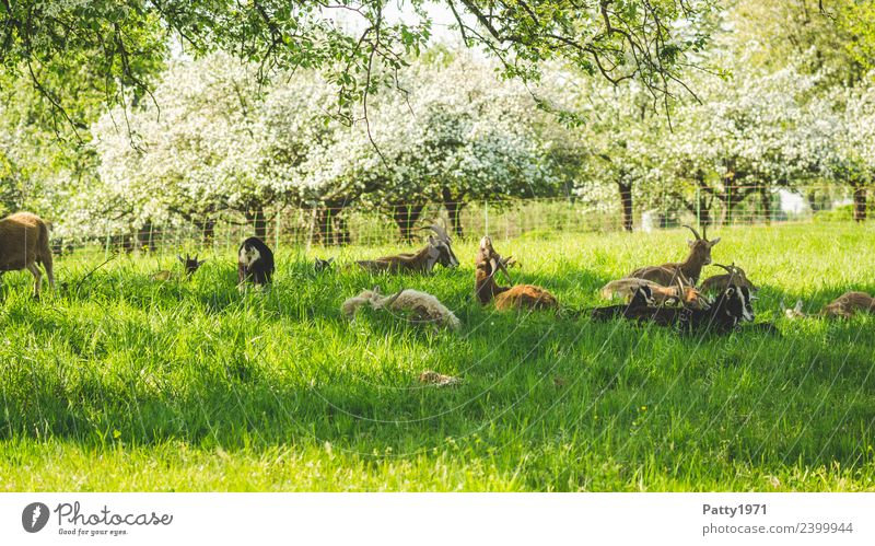 Nature Landscape Relaxation Animal Meadow Lie Idyll Group of animals Sleep Attachment Pasture Pet Herd Farm animal Goats Goat herd
