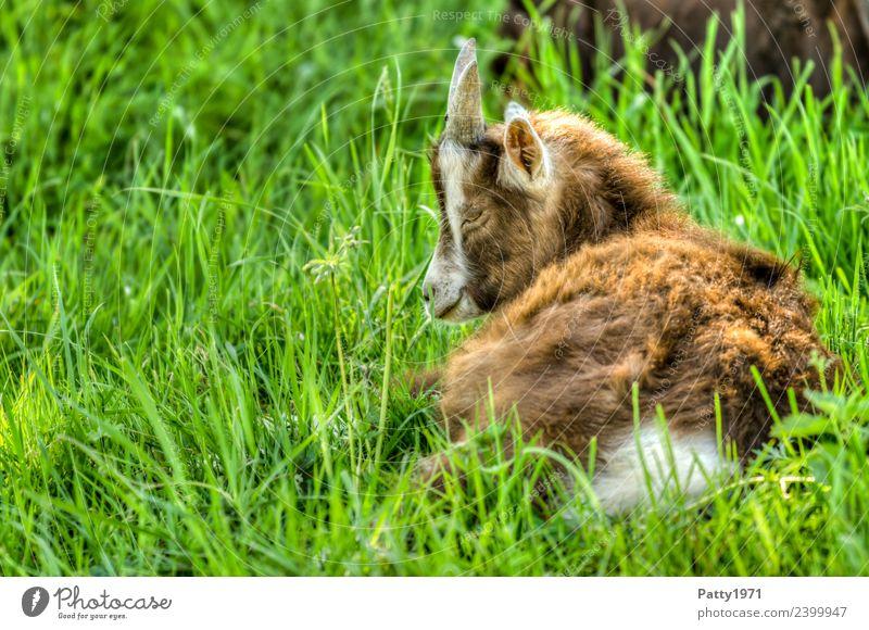 Nature Landscape Relaxation Animal Baby animal Meadow Lie Idyll Sleep Pasture Pet Farm animal Goats