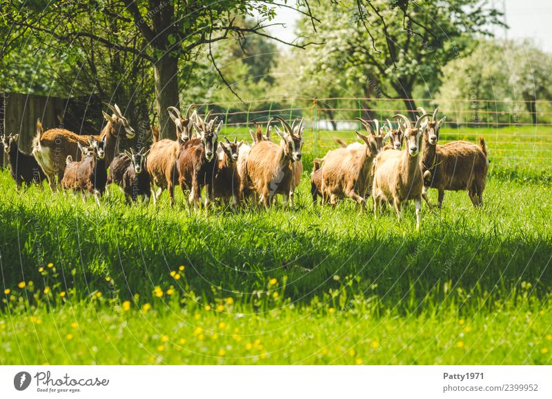 Nature Landscape Animal Meadow Idyll Stand Group of animals Observe Attachment Pasture Pet To feed Herd Farm animal Goats Goat herd