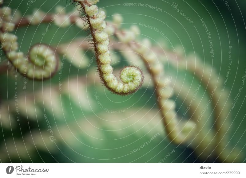 tentacles Nature Plant Fern Leaf Foliage plant Wild plant Spore-producing plant Growth Natural Green Deploy Spiral Colour photo Close-up