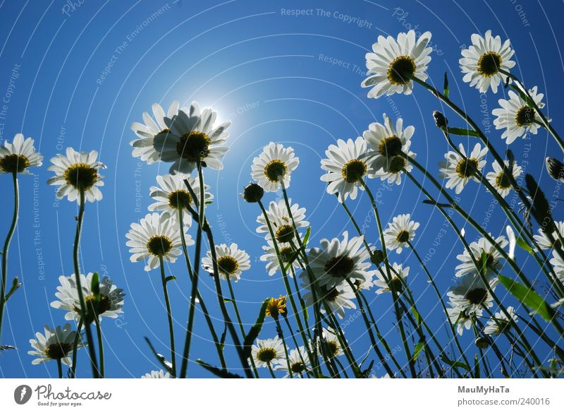Daisies Sky Nature Tree Plant Sun Summer Flower Leaf Colour Relaxation Life Freedom Mountain Garden Grass Blossom