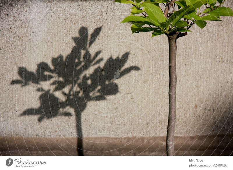 our city shall become greener Environment Beautiful weather Plant Tree Leaf Wall (barrier) Wall (building) Shadow play Growth Green Gray Part of the plant