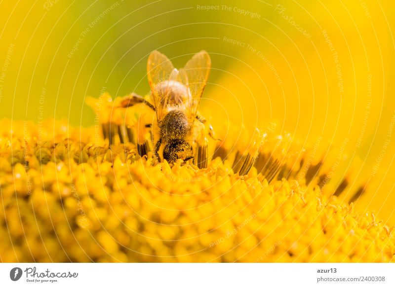 Macro honey bee emerges after yellow pollen on sunflower Body Summer Sunbathing Environment Nature Plant Animal Sunlight Spring Autumn Climate Climate change