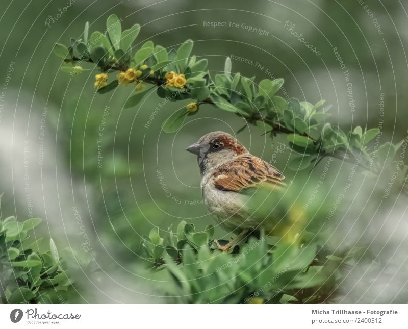 sparrow in a bush Environment Nature Animal Sun Sunlight Beautiful weather Bushes Leaf Blossom Bird Animal face Wing Claw Sparrow Passerine bird Beak Eyes