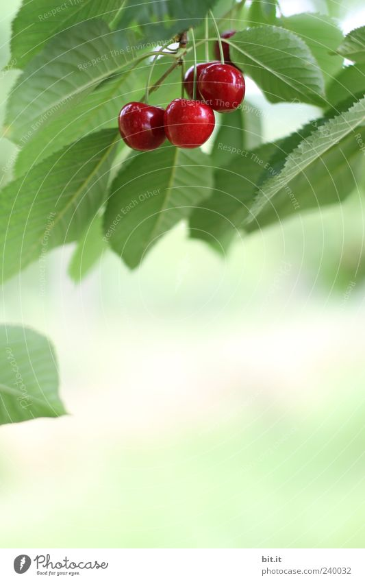 Crackers, firecrackers or... Food fruit Organic produce Cherry Nutrition Healthy Healthy Eating Nature Plant Summer tree flaked hang Fresh Juicy Sweet green Red