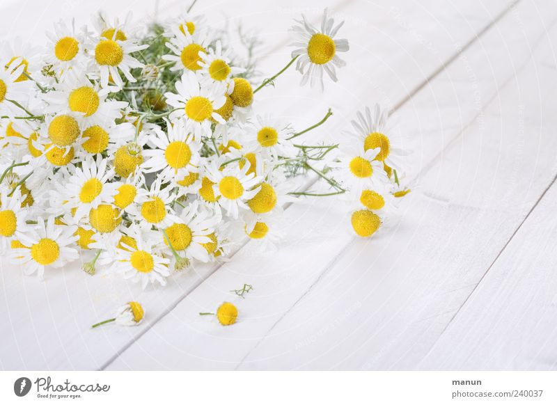 chamomile Herbs and spices Medicinal plant Organic produce Nature Spring Summer Plant Flower Agricultural crop Chamomile Camomile blossom Blossoming Fragrance