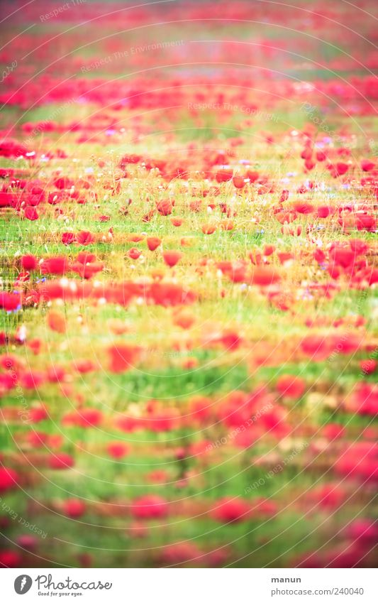 poppy meadow Nature Landscape Spring Summer Plant Flower Grass Agricultural crop Poppy Poppy blossom Poppy field Blossoming Exceptional Fantastic Modern