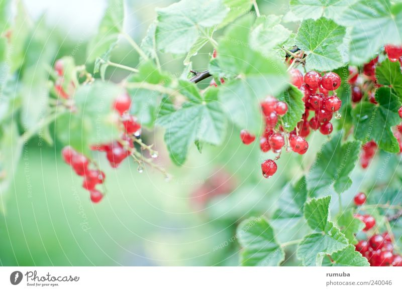 Red currant - Ribes rubrum Food Fruit Nutrition Vegetarian diet Healthy Nature Summer Plant Leaf Delicious Redcurrant Redcurrant bush Garden fruit Berries