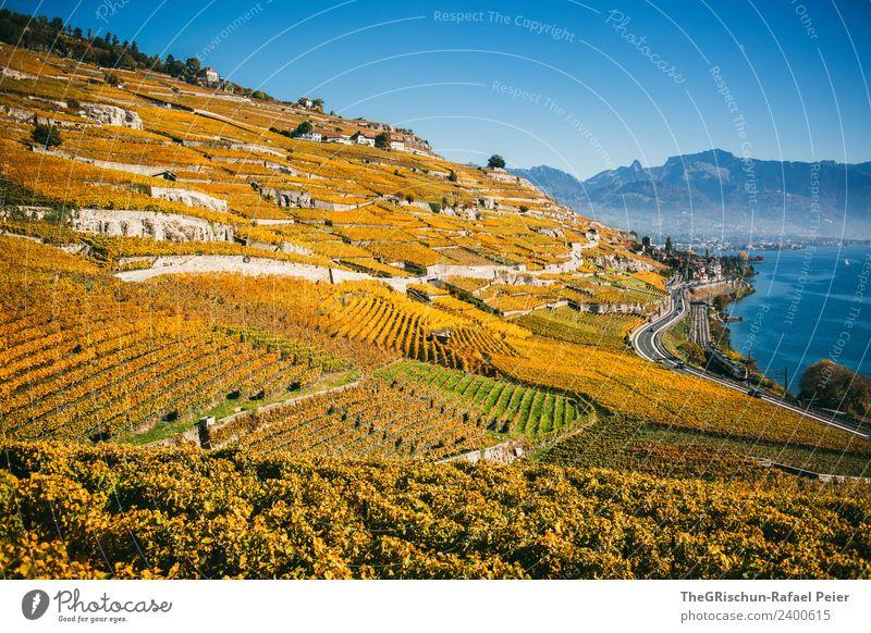 vineyards Nature Landscape Plant Blue Brown Yellow Gold Green Vine Wine Bunch of grapes Vineyard Mountain Lake Geneva Vantage point Far-off places Slope Autumn