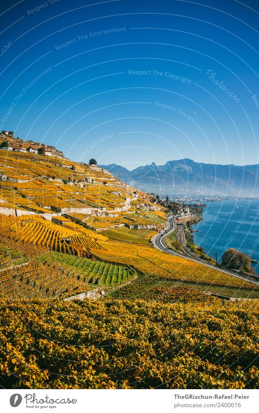 vineyards Nature Landscape Blue Yellow Gold Green Vineyard Bunch of grapes Wine Harvest Autumn Lac Lemon Switzerland Mountain Lake Water Slope World heritage