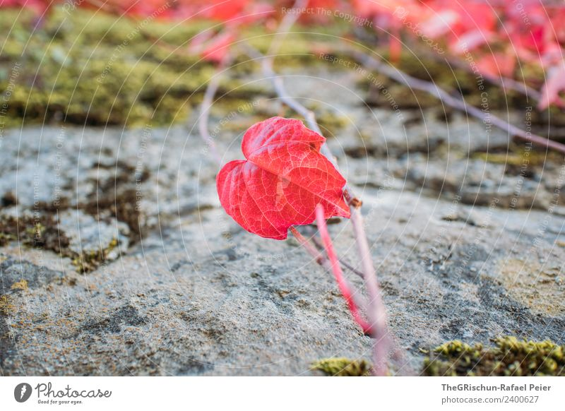Red leaf Nature Plant Leaf Heart-shaped Growth Autumn Stone Colour photo Exterior shot Detail Macro (Extreme close-up) Deserted Copy Space left