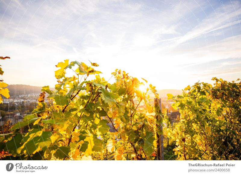 backlight Environment Nature Blue Yellow Gold Green Vine Wine Back-light Sun Sunset Moody Winterthur Clouds Colour photo Exterior shot Copy Space top Evening