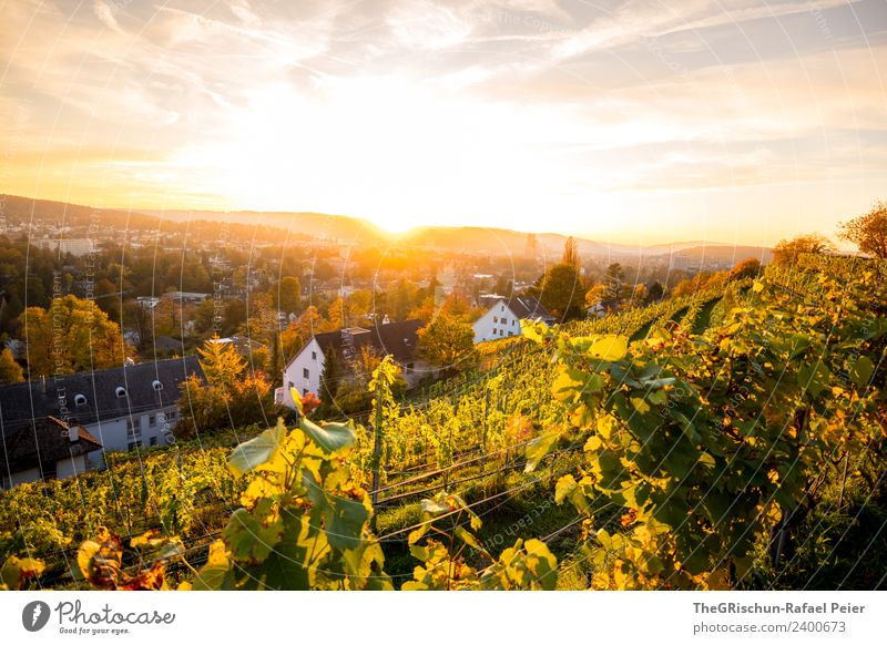 Winterthur Sky Yellow Gold Green Switzerland Moody Autumn Cute Sun Back-light Sunset Wine Vineyard Colour photo Exterior shot Copy Space top Evening Twilight