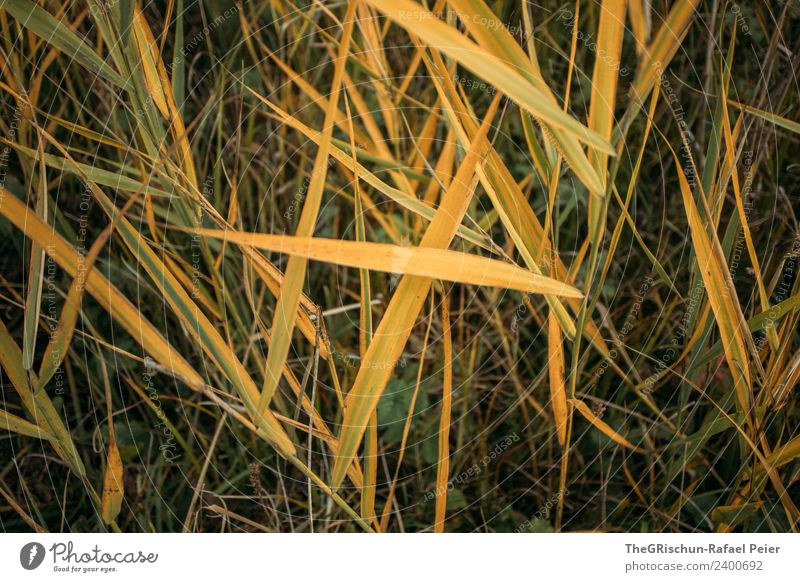 grass Nature Plant Yellow Gold Green Grass Common Reed Meadow Colour photo Exterior shot Close-up Detail Macro (Extreme close-up)