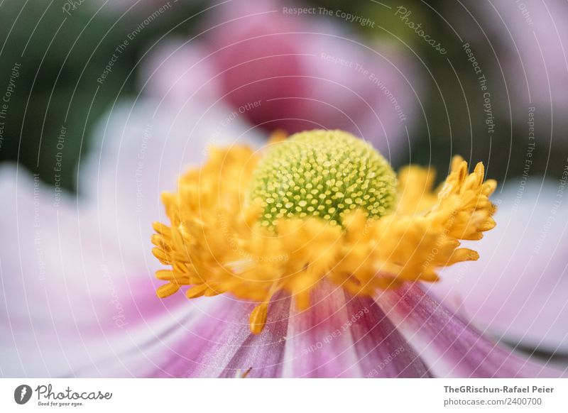 Plant Green Flower Yellow Blossom Pink Esthetic Blossoming Round Violet Color gradient