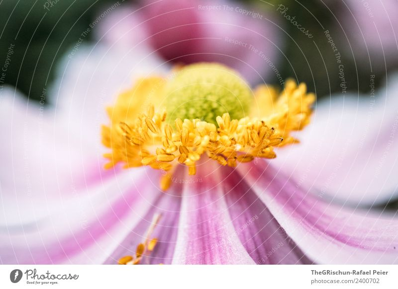 flower Plant Yellow Gold Green Violet Pink Flower Blossom Structures and shapes Color gradient Detail Macro (Extreme close-up) Shallow depth of field