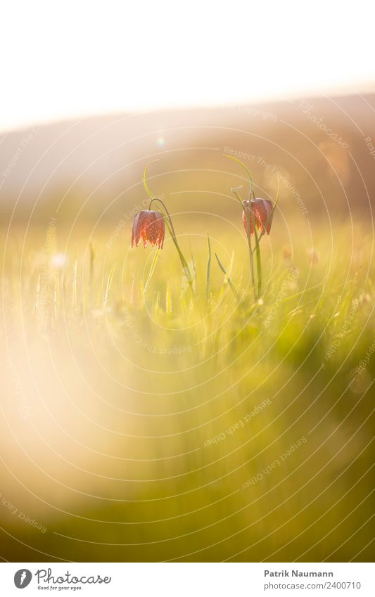 chess flower duo Art Environment Nature Landscape Plant Animal Sun Spring Climate Beautiful weather Blossom Exotic Snake's head fritillary pulsatilla vulgaris