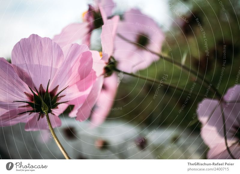 flowers Plant Gray Green Pink Flower Stalk Shadow Light Color gradient Pattern Structures and shapes Colour photo Exterior shot Detail Macro (Extreme close-up)