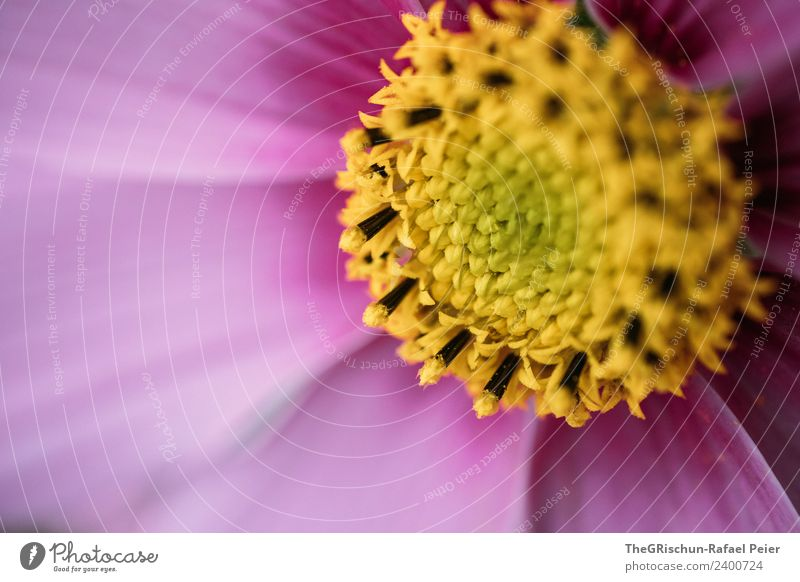 Plant Flower Yellow Blossom Pink Violet Pollen Color gradient