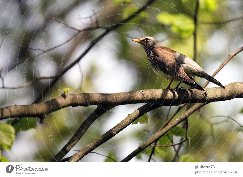 Juniper Thrush in Spring Nature Animal Beautiful weather Tree Garden Park Wild animal Bird Throstle Turdus Pilaris Songbirds 1 Observe Looking Free Natural