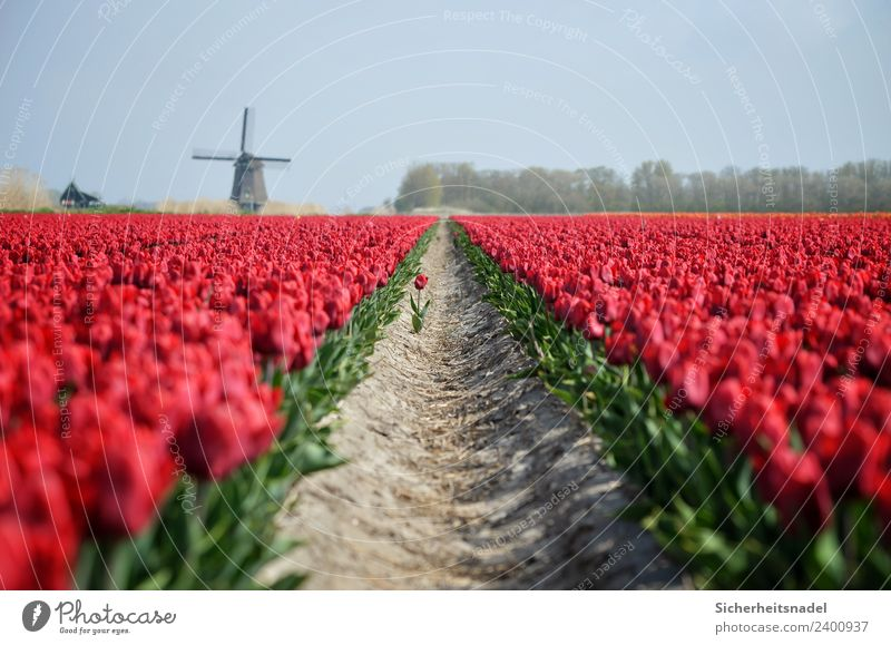 Tulip field with windmill Nature Plant Spring Flower Blossom Field Red Pinwheel Windmill tulips Romance In love Colour photo Exterior shot Day