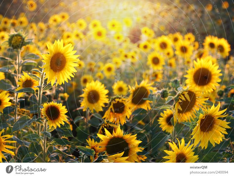 Sunflowers. Esthetic Sunlight Natural Nature Sunflower field Summer Blossoming Yellow Many Colour photo Exterior shot Detail Abstract Pattern Copy Space top Day