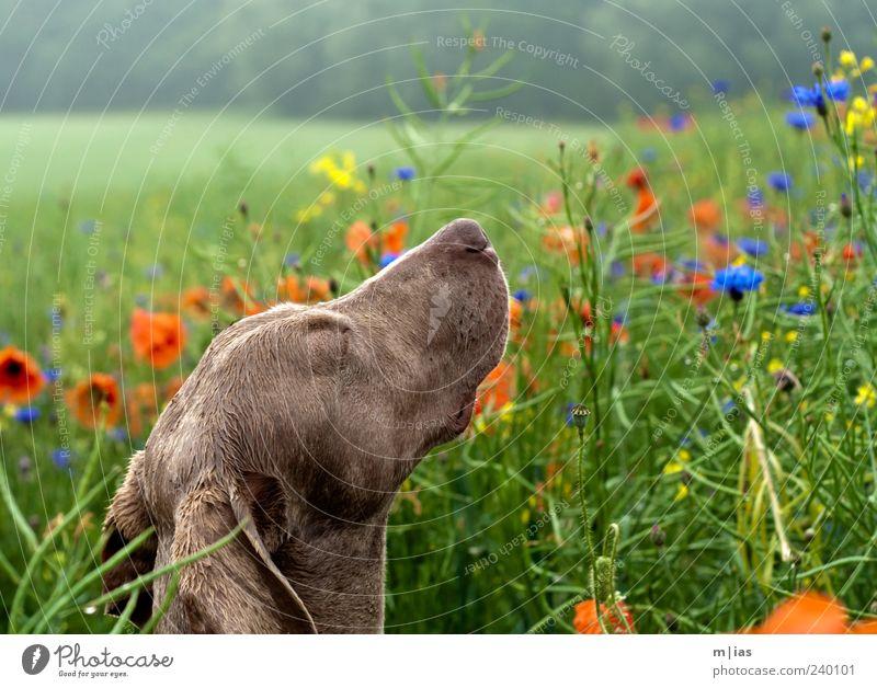 A dog's life. Beautiful Well-being Summer Flower Grass Wild plant Deserted Pet Dog 1 Animal Life Esthetic Poppy Cornflower Weimaraner Colour photo Multicoloured